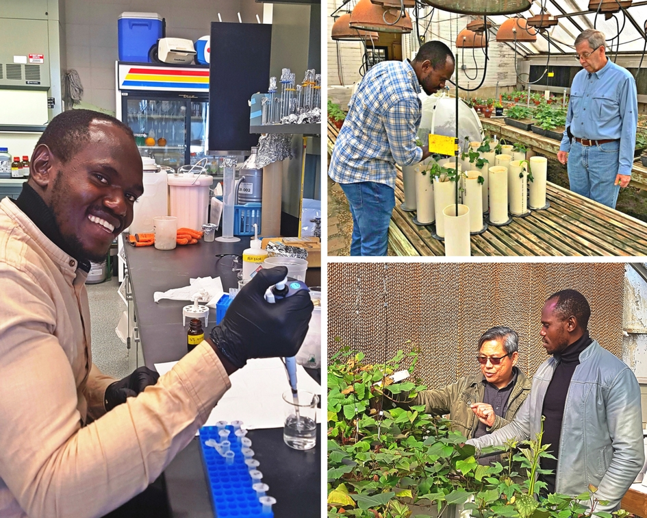 USDA Borlaug Fellow Kwame Ogero from the International Potato Center in Tanzania conducts research on virus prevention in sweet potatoes with his Louisiana State University mentors Christopher Clark (top right) and Arthur Villordon (bottom right).
