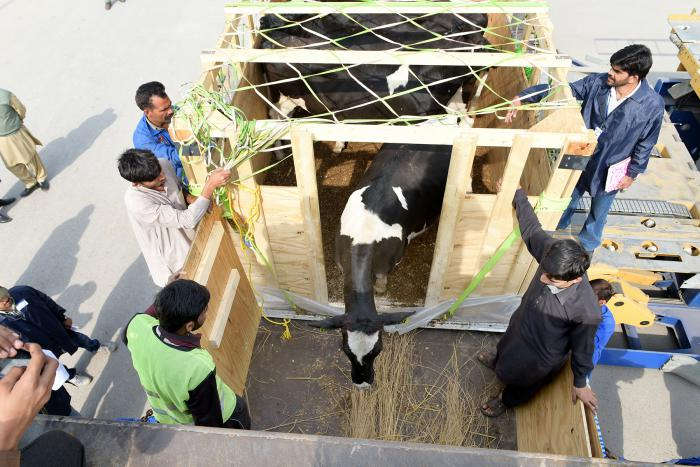 The first U.S. dairy cattle shipped to Pakistan in 15 years are loaded onto trucks for their journey to the FAS-supported demonstration farm at the University of Veterinary and Animal Sciences  near Lahore.