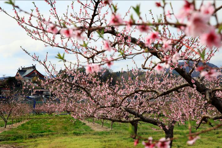 Assessing the progress of the spring bloom, FAS observes peach blossoms and other stone fruits in Fukushima Prefecture, Japan.